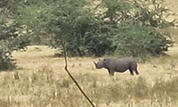 Black-Rhinoceros